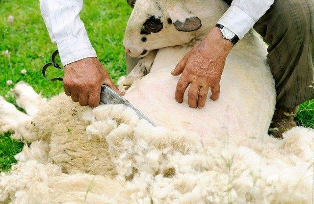 pecore-tosatura