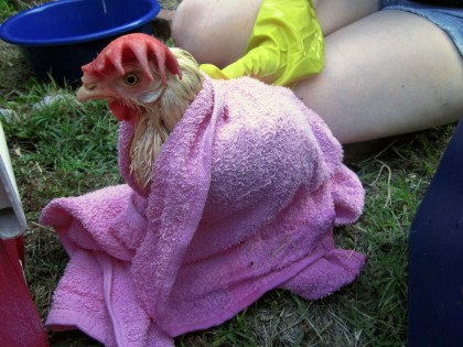 Fluke, rescued chicken from slaughterhouse