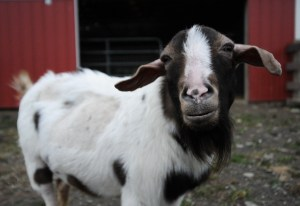 Rescued Goat. Jo-Anne McArthur/We animals
