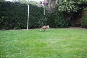 Foxes have no motivation to attack humans