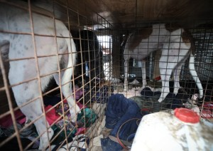 The cramped conditions endured by racing greyhounds