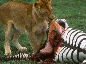Top mylné argumenty jedenia zvierat