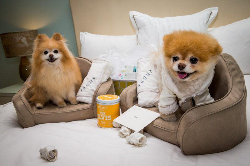 boo  u2013  u201cthe world u2019s cutest dog u201d at trump las vegas  u2013 travelivery u00ae