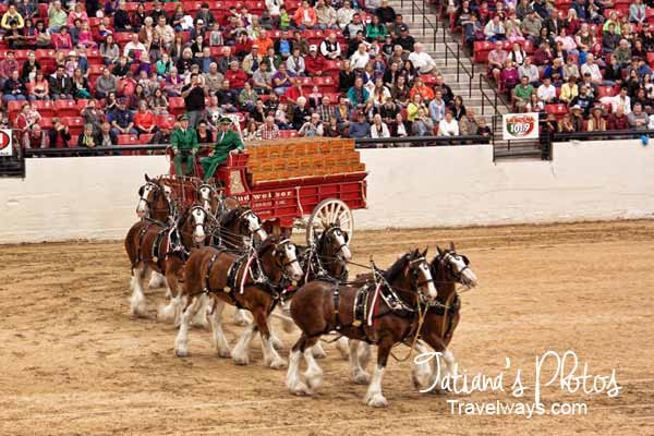 Budweiser Clydesdale show at South Point Casino, Las Vegas