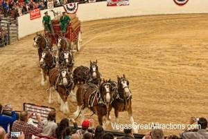 Budweiser Clydesdales making the tour of the arena