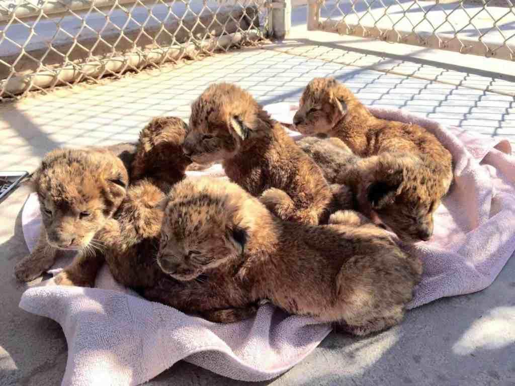 Lion Habitat Ranch - Kids Activities in Vegas