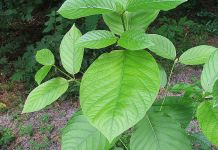 5 Amazing Things You Need to Know About Kratom