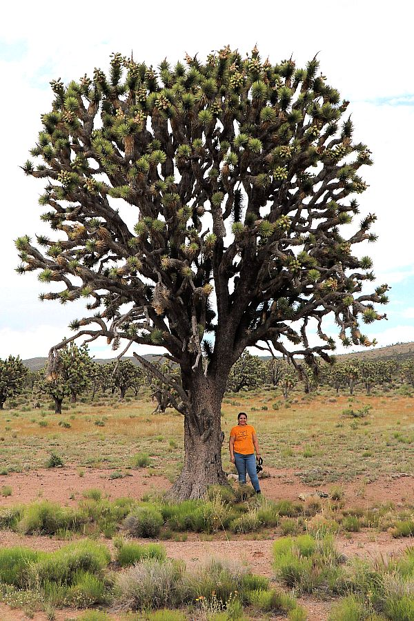 Record-Setting Joshua Tree Discovered at the Proposed  Avi Kwa Ame National Monument in Southern Nevada