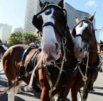 Two Clydesdales on Las Vegas Blvd