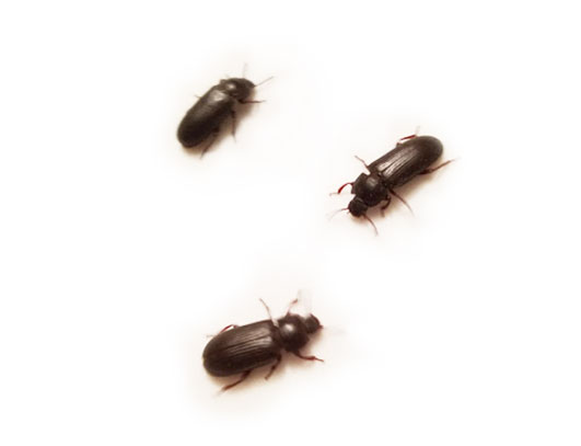 Beetles Sale Mealworms Adult Vegas - Darkling Worms For