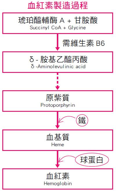 血紅素製造過程