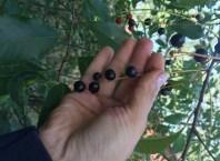 czeremcha owoc