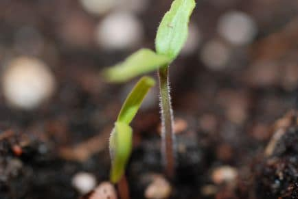 vegetable plant seedling