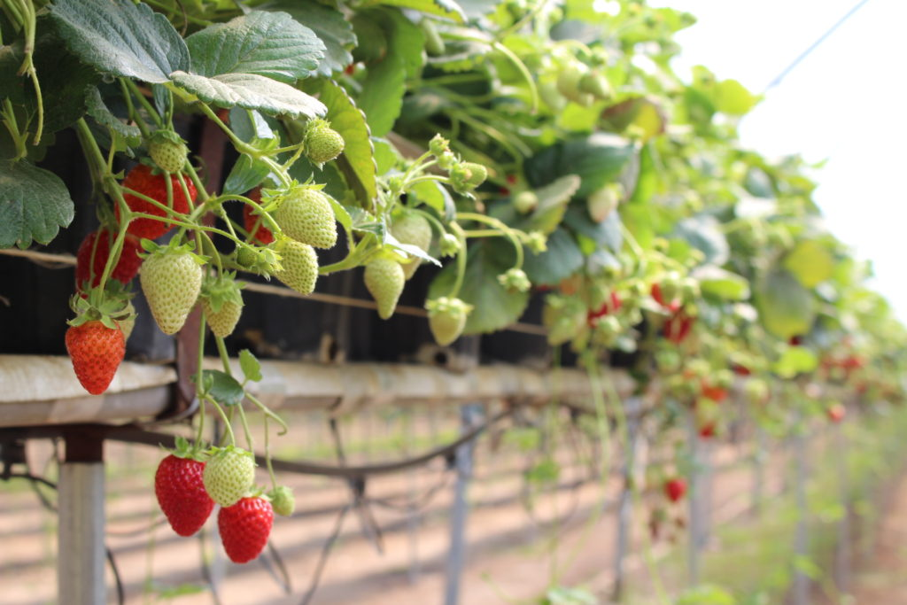 Top Principles For Growing Strawberries In Substrate Vegetable Growers News