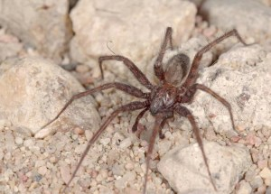 common-house-spider-2