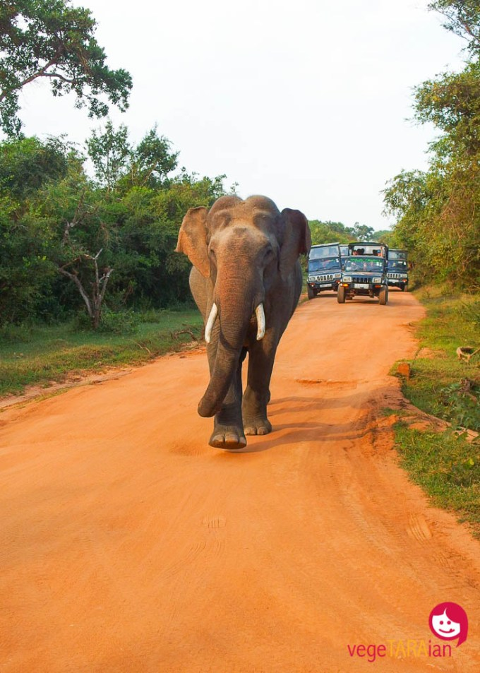 Elephant at Yala National Park