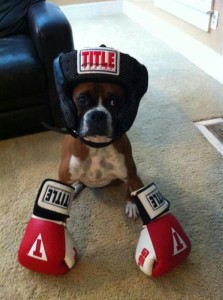 Boxing Bulldog
