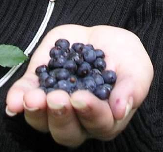 Blaeberry
