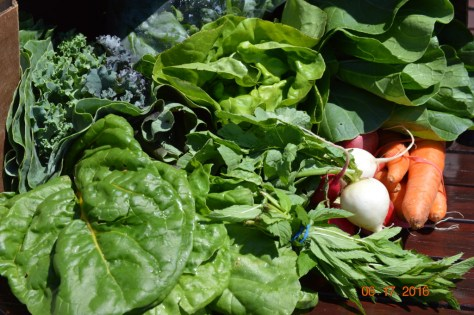 First box from the CSA: Bok choy, Chard, Kale, Spinach, Boston Lettuce, Radishes, Carrots, Mint.