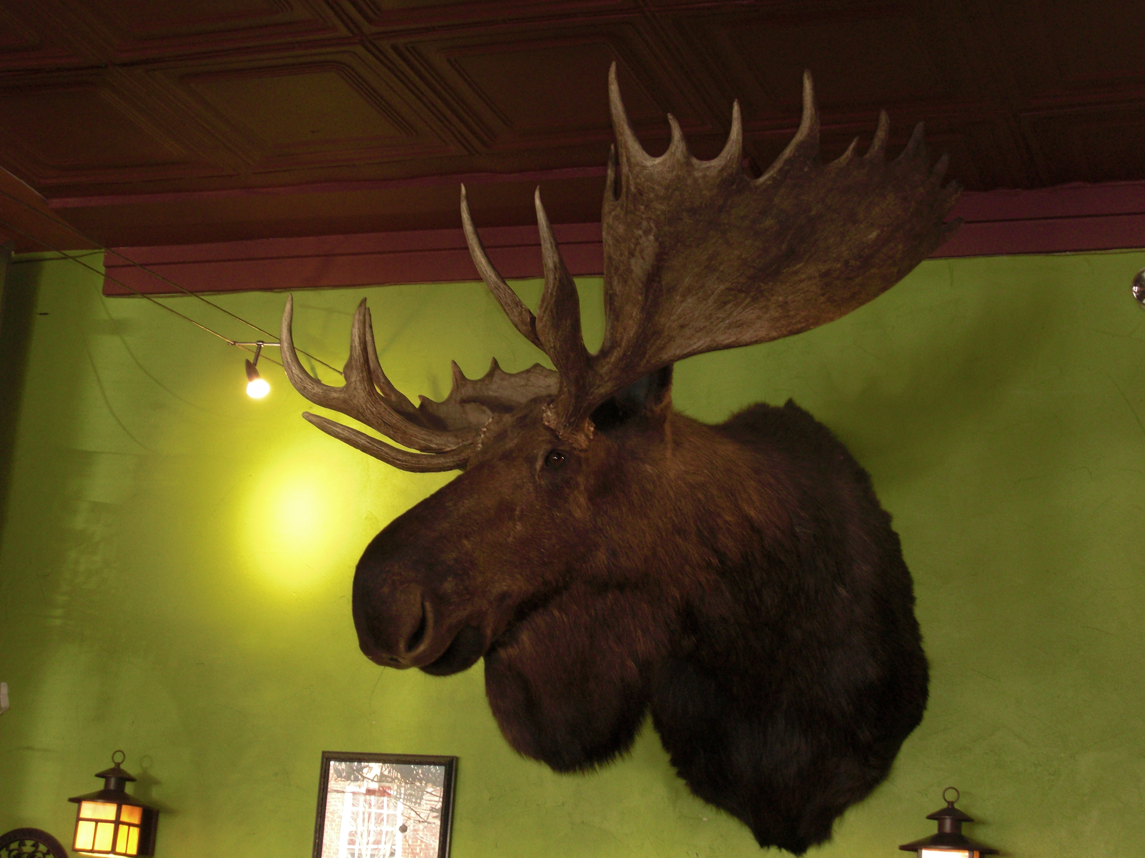 The Golden West moose