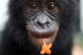 peaceful-bonobo