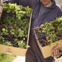 Win Vegetable Plants from Rocket Gardens RRP£35