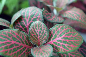 green leaves of the Fittonia house plant with red variegation running along the vein lines of the leaf.