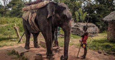 Elefante morre de exaustão após transportar turistas no Sri Lanka debaixo de forte calor