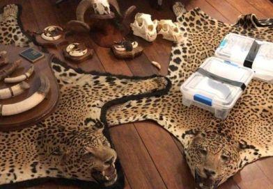 Ação contra o tráfico internacional de animais encontra cobras e tapetes de onças