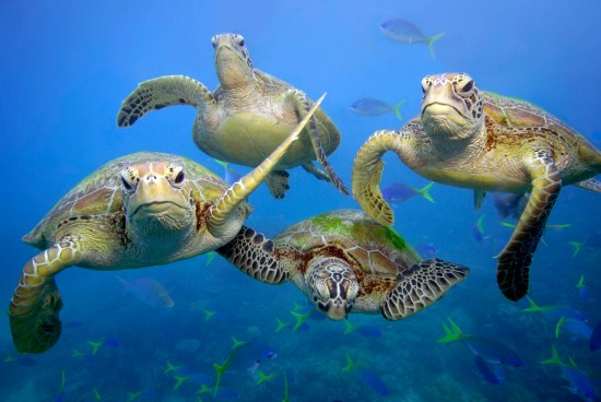 Green turtles (Chelonia mydas) swimming in the Great Barrier Reef, Queensland.