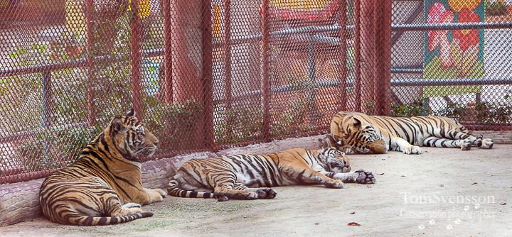 Tre tigrar ligger ner på rad vid gallret i en bur