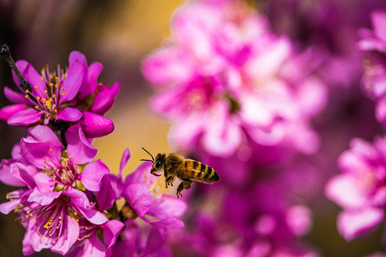 Ett bi är på väg att landa på en rosa blomma