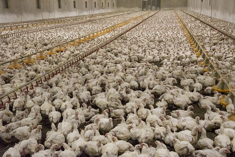 En stor lokal med tusentals kycklingar över hela anläggningen