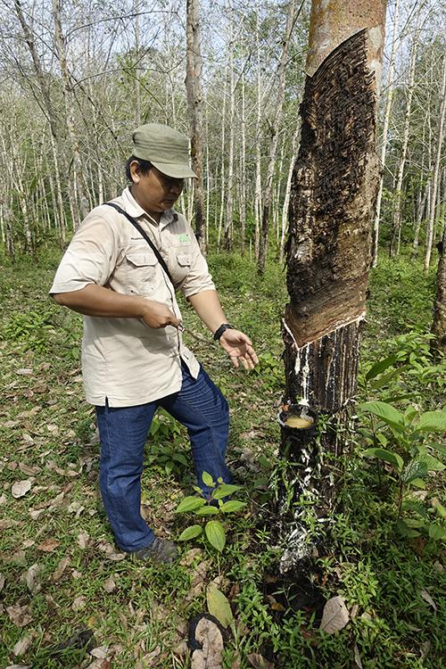En man vid ett träd som tappas på sav