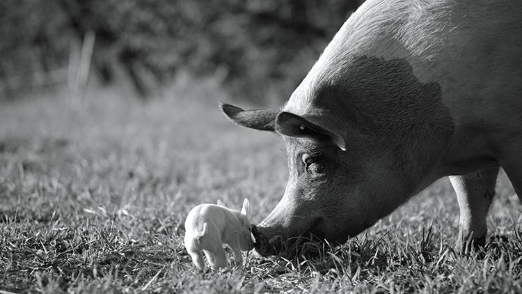 Svartvitt foto på gris och griskulting