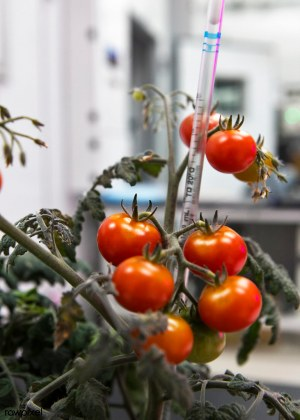 Tomato plants are growing inside a laboratory at the Space Stati