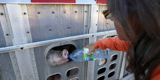 pig-save-feeding-water