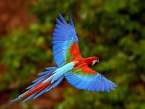 Rainforest parakeet