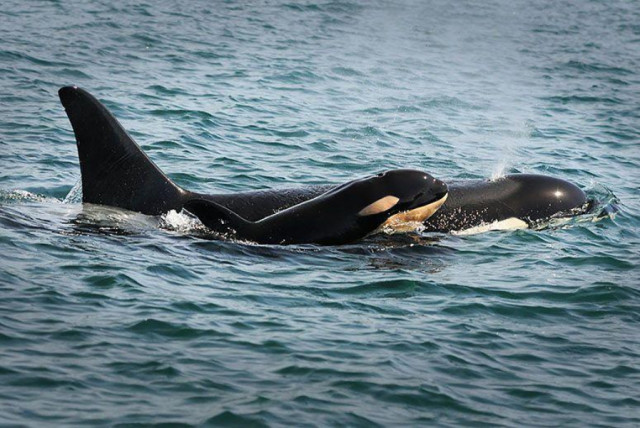 orca with dead baby
