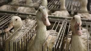 Geese for foie gras