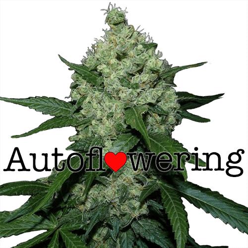 Northern Lights Autoflower Yield