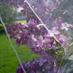 Lilacs behind a pencil edge veil