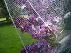 Lilacs behind a pencil edge veil