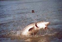sturgeon-fishing-158