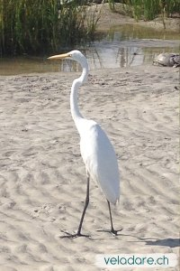 Great Egret am Strand von St Simons Island