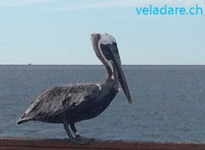 Pelikan in St Simons Island, GA, USA