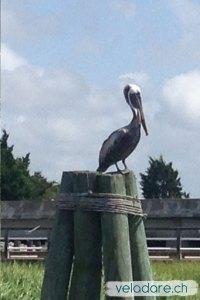 Pélican sur un pilier qui attend les pêcheurs