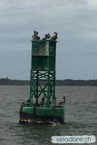 Pelicans sur une balise