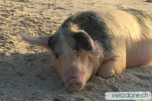 Cochon à Big Major Spot, Exuma, Bahamas