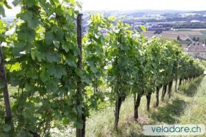 vigne du sentier du vin de Weinfelden